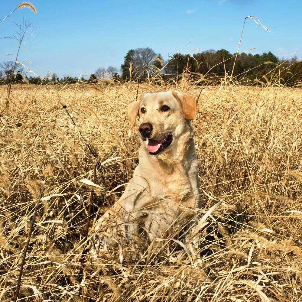 Yellow Lab Dog Hunting  Yellow Lab Dog ...