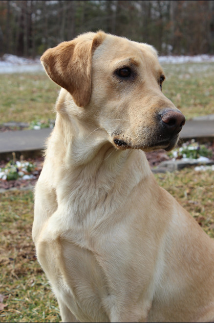 American Yellow Lab Goldenacresdogs